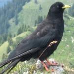 Alpendohle, Alpen, Deutschland