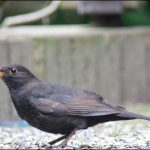 Amsel, Schwarzdrossel,(Turdus merula) – Common Blackbird. Lower Saxony, 2017