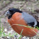Gimpel, Dompfaff, männlich, Bullfinch, (Pyrrhula pyrrhula), Lower Saxony, Germany