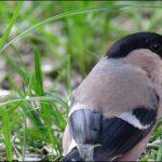 Gimpel, Dompfaff, weiblich, Bullfinch, (Pyrrhula pyrrhula), Lower Saxony, Germany