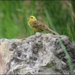 Goldammer, Yellowhammer, (Emberiza citrinella), Döbritzer Heide, Germany