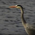 Graureiher (Grey Heron) - Winzlar - Steinhuder Meer