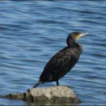 Kormoran, Cormorant / Sea Raven, Phalacrocoracidae, Ismaninger Speichersee, Germany